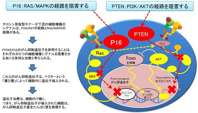 fig_P16-PTEN
