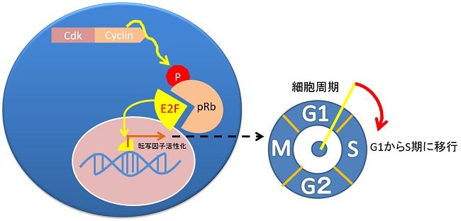fig_Rb-phosphorylation