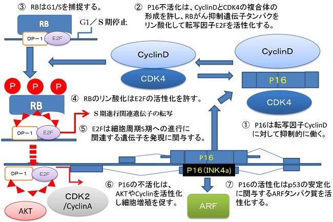 fig_p16-CDKI